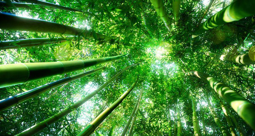 Bambuswald, Foto: Romolo-Tavani/fotolia.de