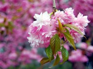 Japanische Kirschblüte ©Thomas Max Müller/pixelio.de